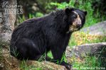 Andean Bear by torreoso