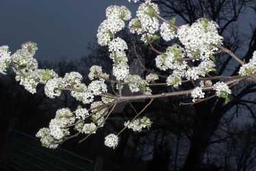 Orimental Plum Tree at night. by fanfictionaxis