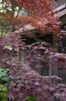 Maples in Spring Shadow by calger459