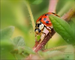 Multi-Spotted Ladybug by AnnaKirsten