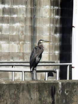 blue heron on hydro dam by Fluff-E-Kitty