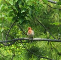 Red Finch 5 by AlissaDStock