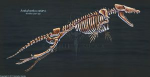 Ambulocetus natans Skeletal Study by TheDragonofDoom