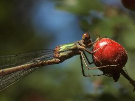 Small dragonfly by pagan-live-style