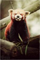 red panda I by RemusSirion