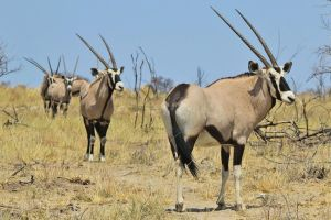 Oryx - African Wildlife - Horned Line-up by LivingWild