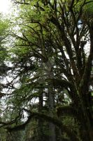Hoh Trees 3 by seancfinnigan