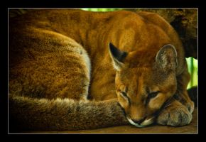 Sleepy Puma. by feudal89