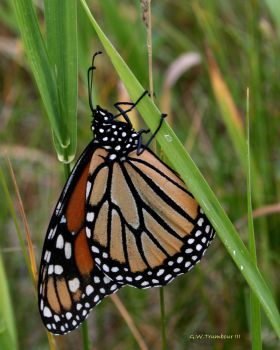 Monarch Butterfly I by natureguy