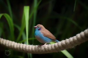 The most Popular Exotic Finch by XanaduPhotography