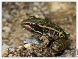 Froggie by Irena-N-Photography