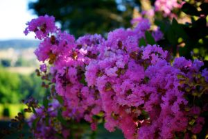 Lagerstroemia by GeoffroyVincens