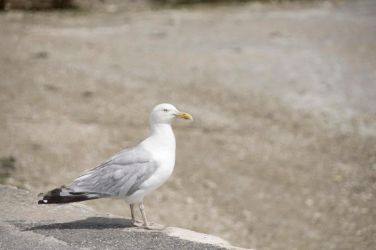 Seagull by madeck