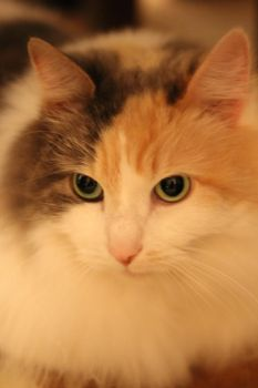 Calico Cat Stock 5 by ManipulatedAngel