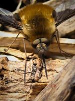 Bee Fly by Iris-cup
