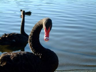 Black swans by Deref