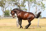 Bay Andalusian dancing side view by Chunga-Stock
