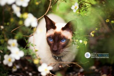 Siamese Cat by thesashabell