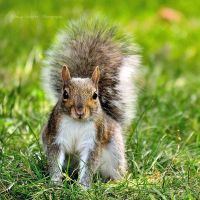 Squirrel by knowhopeinme