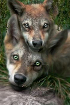 Grey Wolves by mshellee