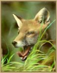 Red Fox - painting by Lynne-Abley-Burton