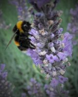 Bee on Lavendar by AstarothSquirrel