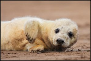 Grey Seal Pup by nitsch