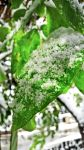 Frosted Green Leaf - / not a trueHDR shot / by idlebg