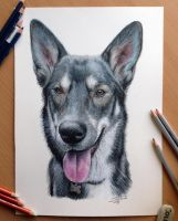 Pencil drawing of a Dog by AtomiccircuS