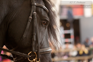 Sidesaddle Friesian_7 by CalyHoney