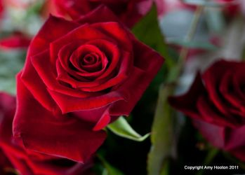 Red Roses by amyhooton