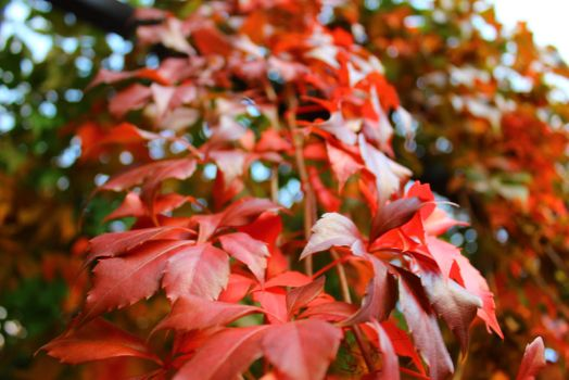 Red Leaves of the Vine by Age3111