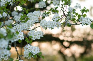 Pear Blossoms in the Evening Light by enaruna
