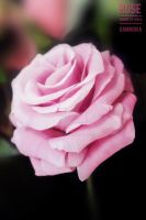Pink Rose by HourtLy