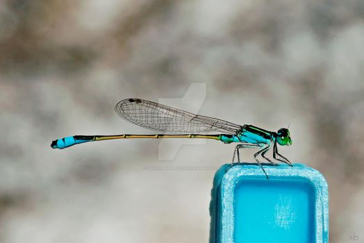 Blue Damselfly in a clothespin by SergioBuratto