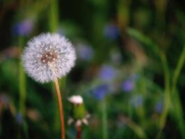 Taraxacum officinale by exozium