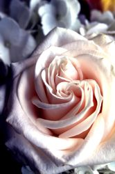 Double Centered Rose by El-Sharra