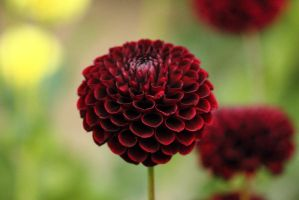 Deep red dahlia by JetteReitsma