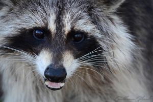 Happy raccoon by GuillaumGibault