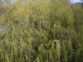 Sturgess Fields Willow Tree by Isavarg
