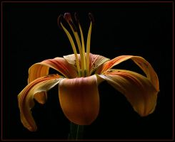 YELLOW LILY 5 by THOM-B-FOTO