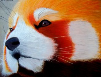 Red Panda by OneColoredLily