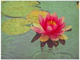 WATER LILY by Atreja