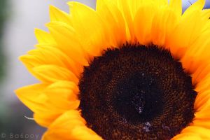 Sunflower by ba6ooy