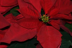 Christmas Poinsettias by Maeve09