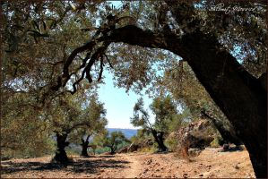 Olive trees by ShlomitMessica