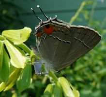 ..,Hairstreak... by duggiehoo