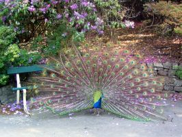 Peacock at the Park by PacAvelli