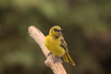 Mrs. Orchard Oriole by dove-51