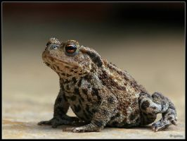 Young Common Toad by cycoze
